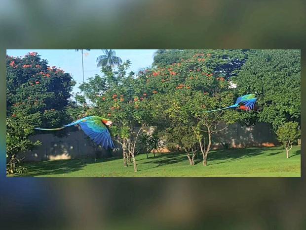 Araras híbridas flagradas no pátio da TV Morena em Campo Grande (Foto: Edmar Melo/ TV Morena)