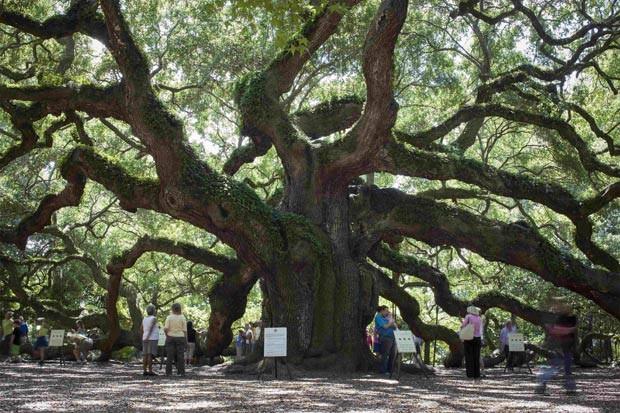 Carvalho da espécie 'Quercus virginiana' está ameaçado por empreendimentos que podem ser construídos em áreas próximas.  (Foto: Reuters/Randall Hill)