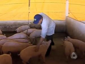 Produção de suínos em MS (Foto: Reprodução/TV Morena)