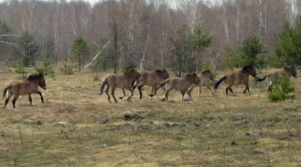 Exemplares de cavalos-de-Przewalski que vivem na zona de exclusão de Chernobyl foram gravados pelo cientista (Foto: Reprodução/BBC)