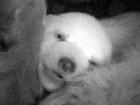 Urso com um mês de vida é 'clicado' com olhos abertos na Alemanha