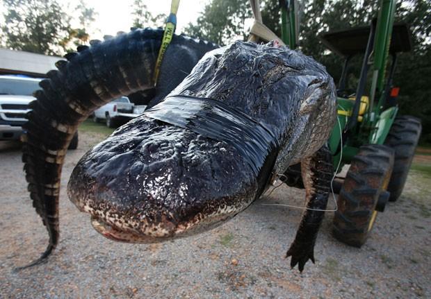 Jacaré capturado pela família Stokes é o maior já abatido no Alabama. (Foto: Sharon Steinmann/Al.com/AP)