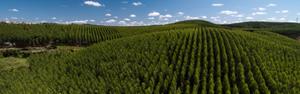 Plantação de eucalipto é um bom negócio