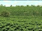 Mecanização é alternativa para falta de mão de obra na colheita do café