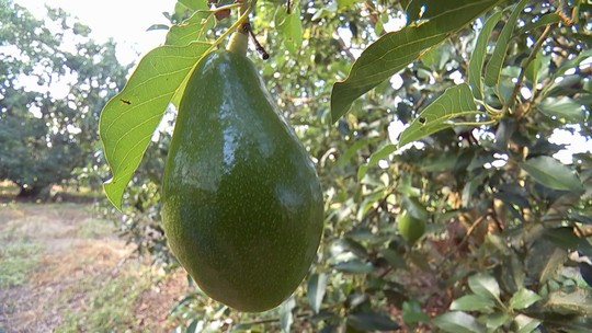 Produtores paulistas colhem safra de abacate