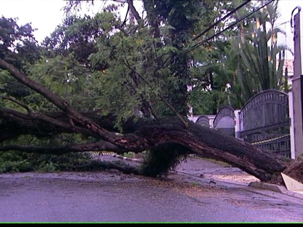 Árvore bloqueia rua no Alto de Pinheiros na manhã desta quarta-feira (26) (Foto: Reprodução/TV Globo)