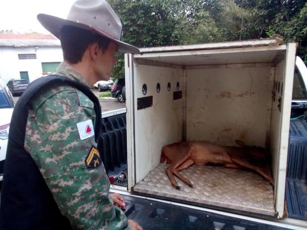 Veado foi apreendido no quital de uma casa, em Esmeraldas. (Foto: Divulgação/Polícia Militar do Meio Ambiente)