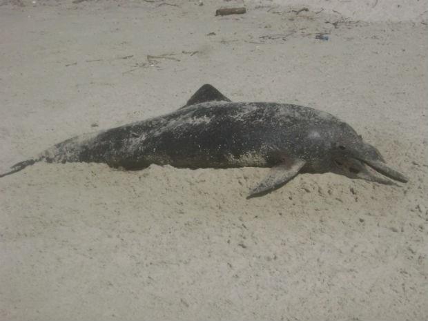 Animal está abandonado na praia há 4 dias, segundo moradora  (Foto: Maria Neusa Tomarolli / Arquivo pessoal )
