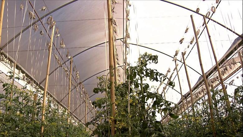 estufa-tomate (Foto: Reprodução/ TV Globo)