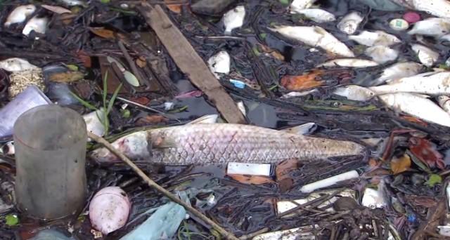 Toneladas de peixes mortos em Cubatão (Foto: Reprodução/TV Tribuna)