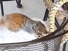 Esquilo ataca cobra para defender filhotes nos EUA