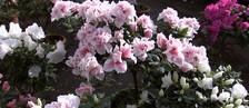 Dia das mães movimenta produção de flores (Reprodução/ TV TEM)