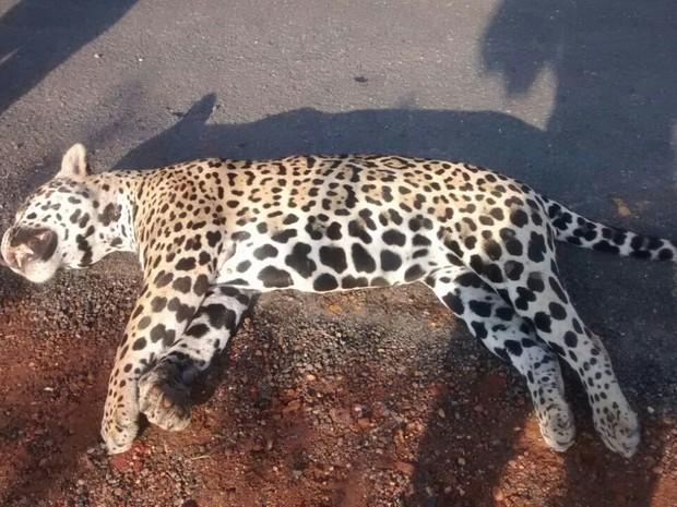Onça foi encontrada morta e teria sido atropelada por um veículo na BR-153 (Foto: Divulgação/Joabe Silva)