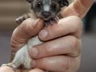 Filhote órfão de marsupial de apenas 50 gramas é resgatado na Austrália