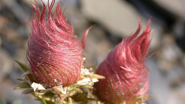 planta-Geum reptans-flor (Foto: Flickr/Station Alpine Joseph Fourier Seguir)
