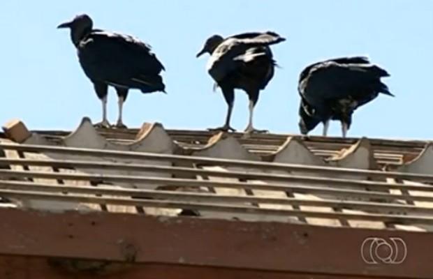 Urubus vivem em telhado de escola, em Petrolina, Goiás (Foto: Reprodução/ TV Anhanguera)