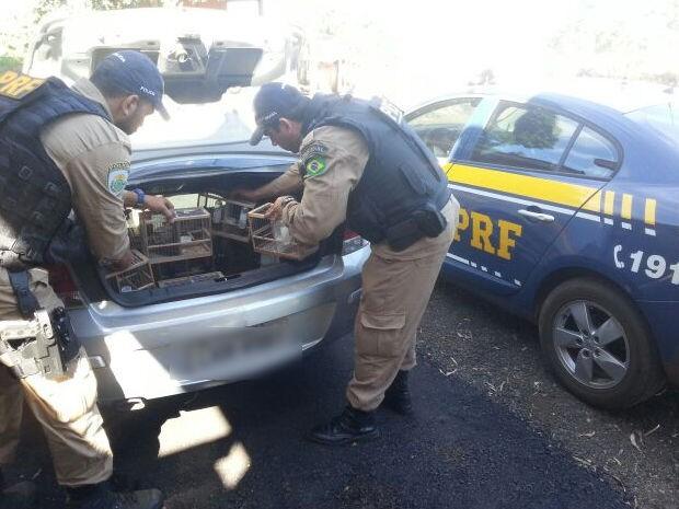 Motorista foi preso com 38 pássaros em porta-malas de carro em Mato Grosso (Foto: Assessoria/PRF-MT)