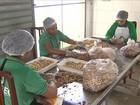 Trabalho coletivo muda a rotina de beneficiadores de castanha em SE