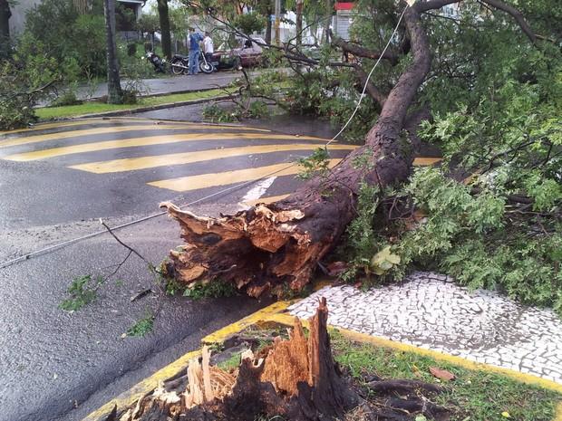 Árvore caiu em frente a uma casa na Avenida Carlos Botelho, em Piracicaba (Foto: Leandro Cardoso/G1)