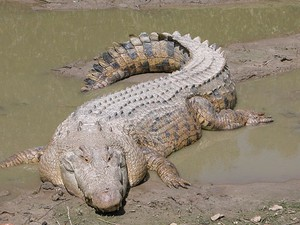 Os crocodilos-de-água-salgada são o maior réptil da atualidade e considerado bastante perigosos (Foto: St. Augustine Alligator Farm)