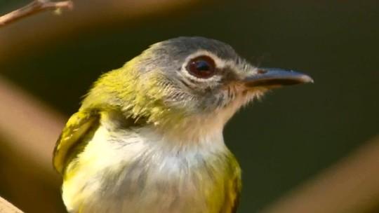 Menor passarinho do Brasil e maior felino das Américas são filmados quase ao mesmo tempo