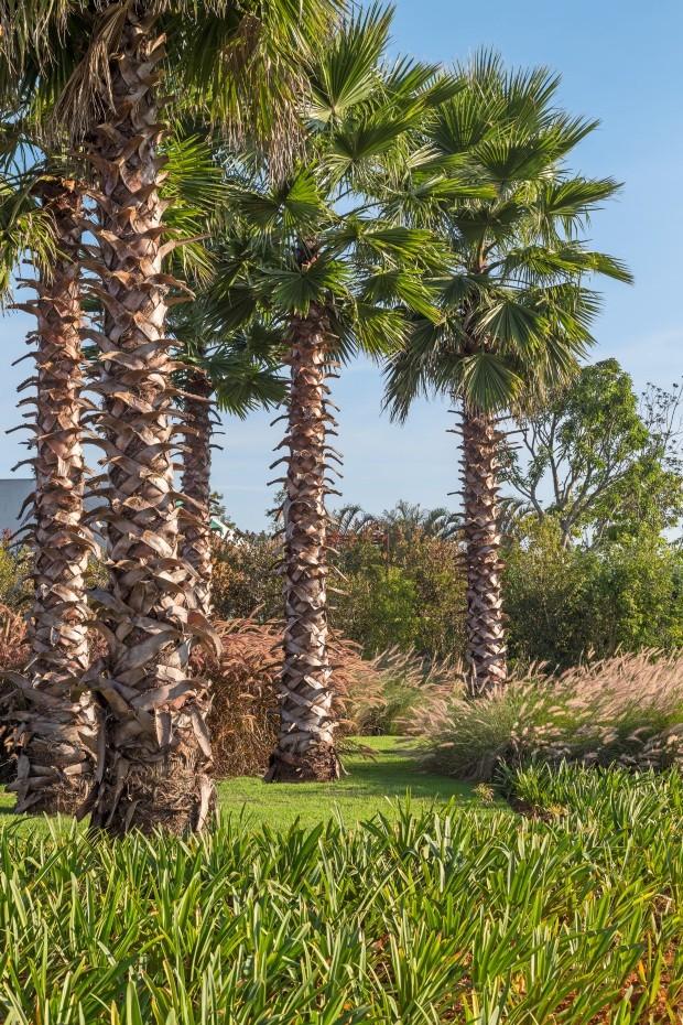 Imensidão. As palmeiras washingtonia chegaram ao terreno já adultas, com cerca de 6 m de altura (Foto: Yuri Seródio / Divulgação)
