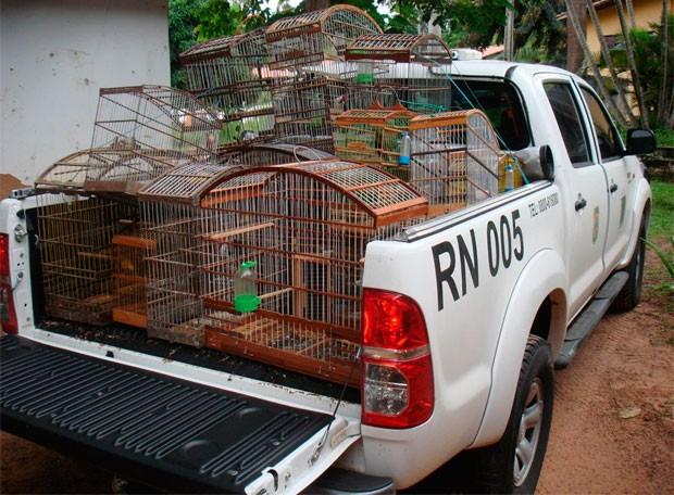 Aves foram apreendidas engaioladas numa casa na cidade de Touros, litoral Norte do RN (Foto: Divulgação/Ibama-RN)