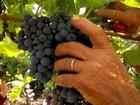 Produção de uva deve sofrer redução de mais de 20% em parreirais do RS
