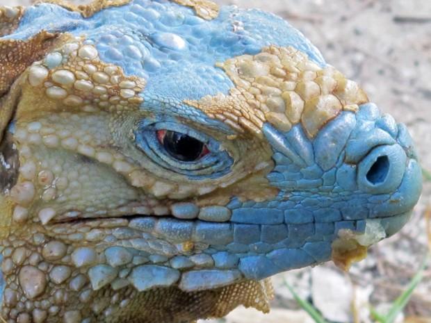 Uma iguana azul aparece trocando de pele em um jardim botânico das Ilhas Cayman, nas Antilhas. O animal recebeu o apelido de 'mordedor' ('biter', na tradução do inglês) (Foto: David McFadden/AP)