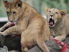 Cientistas detectam pela 1ª vez a presença de leões em parque etíope