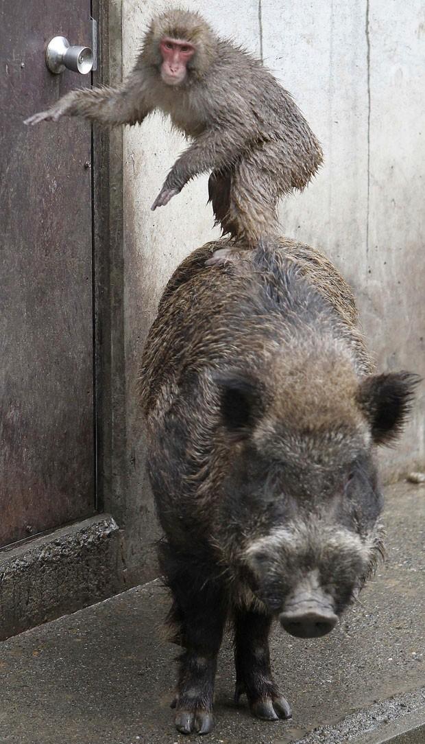 Em janeiro de 2012, um macaco foi flagrado 'surfando' sobre o dorso de um javali em um zoológico de Tóquio, no Japão. O símio se mostrou bem à vontade e pareceu até fazer pose sobre as costas de 'Shishiro' (Foto: Koji Sasahara/AP)