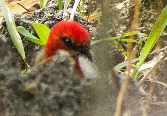 Um cardeal-de-maurício (Foudia rubra), bastante arisco, esconde-se entre as pedras e as folhas da mata da Ilha das Garças  (Foto: © Haroldo Castro/ÉPOCA)