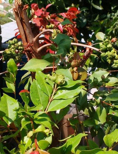 gr-responde-arvore-Myrtaceae-galha-galhas (Foto: Gilson Martins/ Arquivo Pessoal)