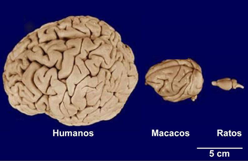 Cérebro de primatas se aproxima ao de humanos; órgão de ratos é bem menor (Foto: Divulgação/Adaptado de Pasko Rakic, 2009)