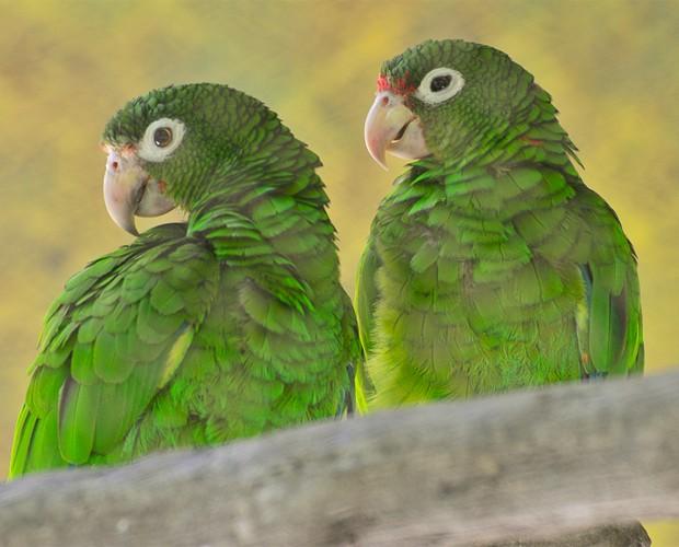 Espécimes de papagaios de Porto Rico, animal ameaçado de extinção que teve o DNA sequenciado (Foto: Divulgação/Jose Almodovar/Universidade de Porto Rico)