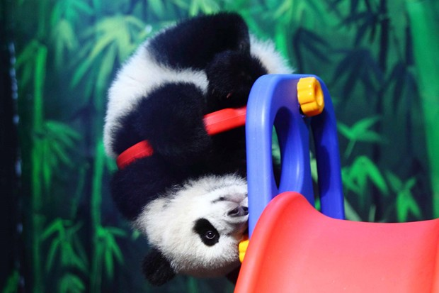 Filhote de panda 'Long Long' é flagrado em 'enterrada radical' em parque na província de Guangdong, na China (Foto: ©Exclusivepix/Iber Press)