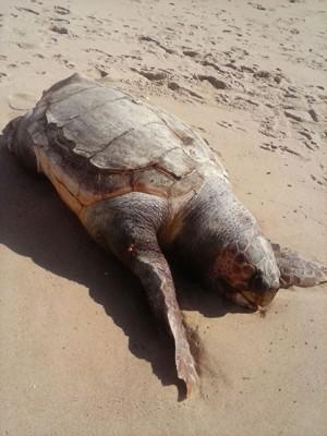 Tartaruga 'cabeçuda' não é comum no litoral de João Pessoa (Foto: Walter Paparazzo/G1)