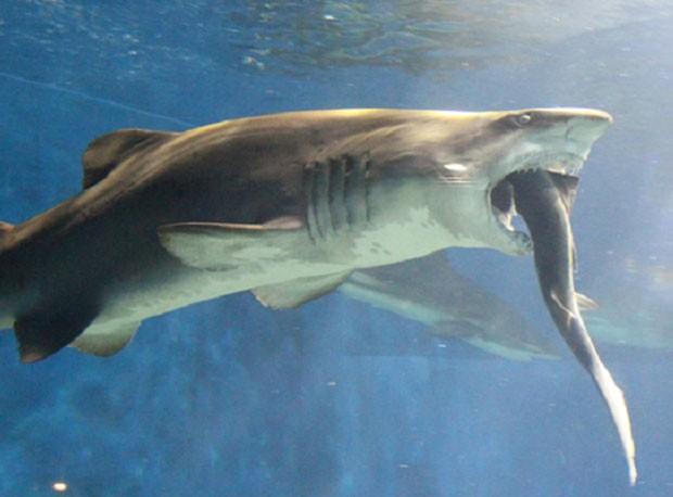 Funcionários ficam horrorizados após tubarão tentar devorar outro menor (Foto: Reprodução/YouTube/The Red Phoenix) (Foto: Reprodução/Aqua World Oarai)