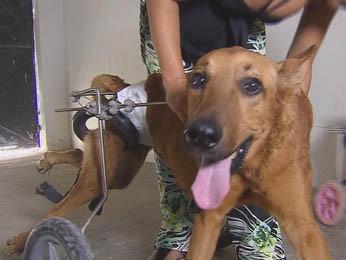 Cachorros usam cadeira com rodinhas para correr e passear (Foto: TV Globo)