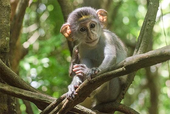 Os rins de um filhote de macaco-verde são usados para testar vacinas antipólio  (Foto: © Haroldo Castro/Época)