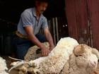 Produtores trabalham na tosquia de ovelhas em fazendas do RS