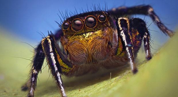 O fotógrafo comenta que considera ''as aranhas saltadoras uma fonte para gerar admiração pelas aranhas, já que são animais coloridos, ornamentados e belos que fazem com que muitos as considerem atraentes. Eu amo as salticids - e simplesmente quero que mais pessoas as amem também' (Foto: Thomas Shahan)