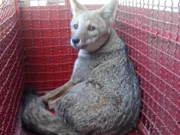Animal foi encontrado ferido no acostamento da Raposo Tavares (Foto: Divulgação/ Bombeiros Itapetininga)