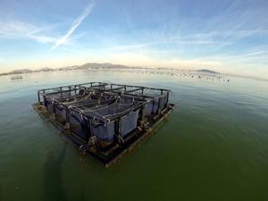 Sardinhas terminam seu desenvolvimento em tanques redes, no mar (Foto: Divulgação/Univali)