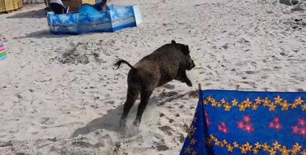 Javali selvagem investe contra banhistas em praia na Polônia (Foto: YouTube/reprodução)