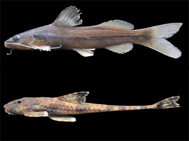 Novas espécies Pimelodella sp. (acima) e Rineloricaria sp. (abaixo) foram descobertas na Baixada Santista (Foto: Divulgação/Assecom Unisanta)
