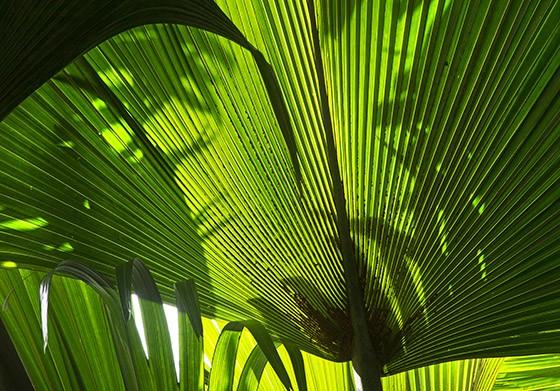 As folhas do coqueiro-do-mar são imensas, podendo chegar a 4,5 metros de largura por 10 metros de cumprimento (Foto: © Haroldo Castro/Época)