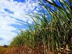 Produção de cana na região de Piracicaba cai 15% em 2016