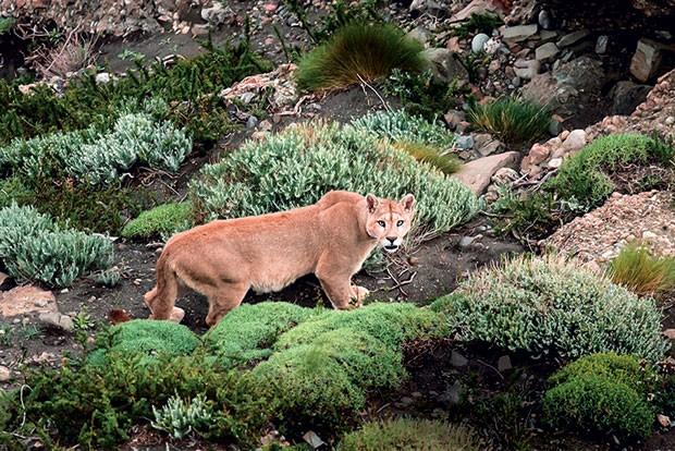 Imagine se deparar com um puma? morador da região, ele  é um dos maiores felinos da América do Sul. (Foto: Divulgação)