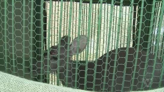 Filhote de veado invade horta e assusta moradora de Miracatu, SP